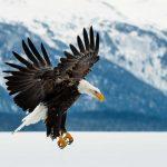 Águila volando bajo. ©Shutterstock