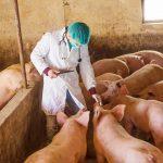 Veterinario con cerdos. ©Shutterstock
