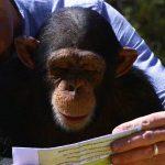 Chimpancé que sabe leer. ©BBC