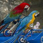 Guacamayas andan en bici. ©Shutterstock