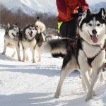 Lobos en la nieve. ©Shutterstock
