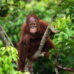 Chimpancé disfrutando de la selva. ©Shutterstock