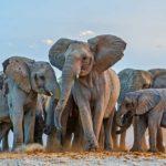 Elefantes africanos 1 Susan-McConnell