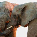 Elefantes africanos 2 Susan-McConnell