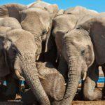 Elefantes africanos 5 Susan-McConnell