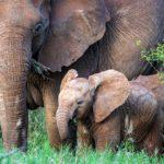 Elefantes africanos 6 Susan-McConnell