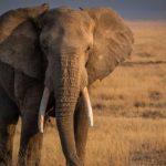 Elefantes africanos 7 Tom Stahl