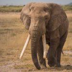 Elefantes africanos 8 Tom Stahl