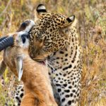 Leopardo atrapa a su presa. ©Shutterstock