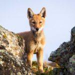 Lobo etíope 7 Will Burrard Lucas