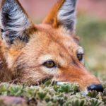 Lobo etíope 8 Will Burrard Lucas