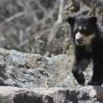 Oso con anteojos 3 Spectacled Bear Conservation
