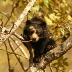 Oso con anteojos 4 Spectacled Bear Conservation