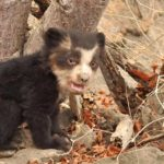 Oso con anteojos cachorro Spectacled Bear Conservation