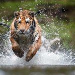 Tigre tras su presa. ©Shutterstock