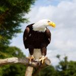 Águila calva - Alaska ©Shutterstock