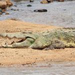 Cocodrilo de Nilo - Sudáfrica ©Shutterstock