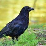 Cuervos creaticos ©Shutterstock