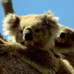 Familia de koalas ©BBC