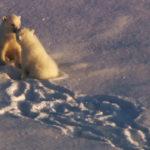 Familia osos polares ©BBC