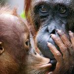 Familia de chimpancés ©BBC