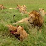 Familia de leones ©BBC