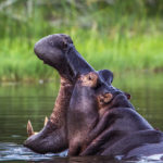 Hipopótamo - Sudáfrica ©Shutterstock