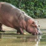 Hipopótamos que producen un sudor que funciona como protector solar. ©Shutterstock