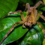 Phoneutria fera - Costa Rica ©Shutterstock