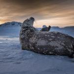 Lobo-marino-en-al-Antartica-en-invierno