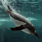 Pingüino de Gentoo en el Océano Ártico