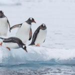 Pinguinos-sobre-la-nieve-en-la-Antártida