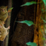Familia tarsero en árbol de ficus Parque Nacional Tangkoko, Sulawesi, Indonesia ©Shutterstock