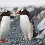 Pareja de pingüinos ©Pexels
