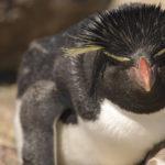 Pingüino de Penacho Amarillo en Isla Penguino, frente costa atlántica de la Patagonia ©Shutterstock