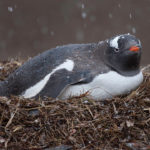 Pingüino en nido ©Pexels