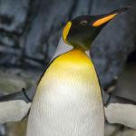 Pingüino luciendo sus alas blancas y pico amarillo ©Pexels