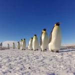 Pingüinos Espía en la Colonia