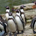 Pingüinos de Humboldt sobre roca ©Shutterstock