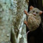 Tarsero en árbol de ficus, Parque Nacional de Tangkoko, Sulawesi, Indonesia ©Shutterstock