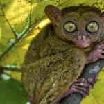 Tarsro animal nocturno en rama de árbol ©Shutterstock