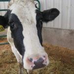 Vaca esperando al Dr. Pol. ©National Geographic:Justin Kerkau