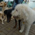 Grupo de perros que usó Cesar para entrenamiento. ©National Geographic Channels/Janine Campbell