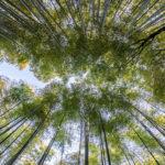 Bamboo. ©Pixabay