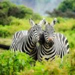 Cebras en Kenya. ©Pixabay