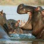 Hipopotamos. ©Pixabay