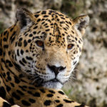 Jaguar. ©Pixabay
