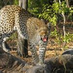Leopardo enojado. ©Pixabay