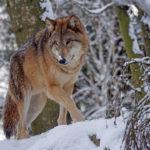 Lobo al acecho. ©Pixabay