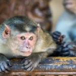 Mono ladrón espinado a su víctima. ©Shutterstock